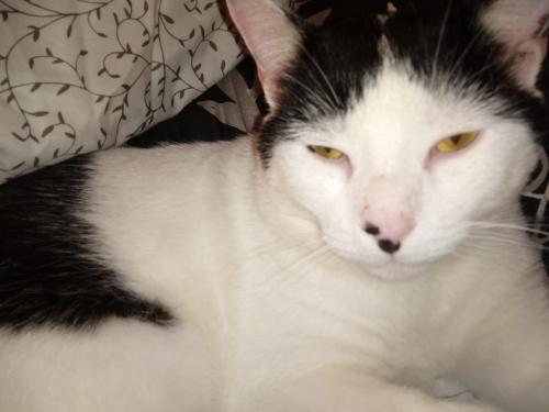 Lost Male Cat last seen Fairview or Buckingham st Oakville, Watertown, CT 06779