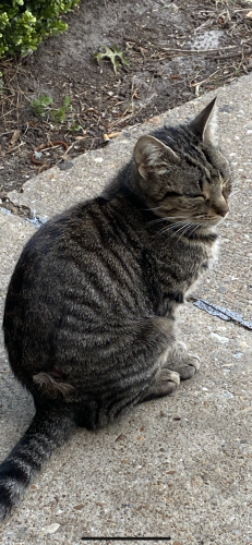 Found/Stray Unknown Cat last seen W. Intruder circle , Virginia Beach, VA 23454