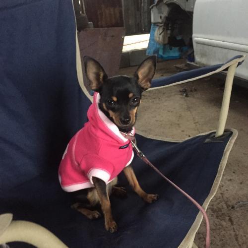 Lost Male Dog last seen Waiula Drive and Aho Place, Waimea, HI 96743