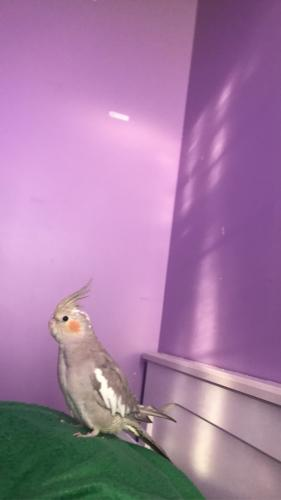 Lost Female Bird last seen MacArthur grand, Garfield, NJ 07026