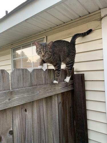 Found/Stray Unknown Cat last seen Chesterbrook dr, Virginia Beach, VA 23464