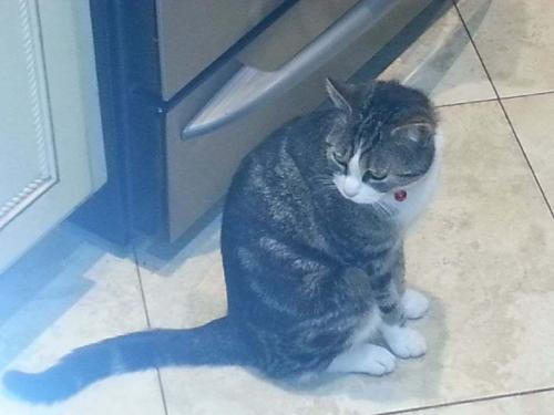 Lost Female Cat last seen Canterbury Street off Jericho Turnpike, Westbury, NY 11590