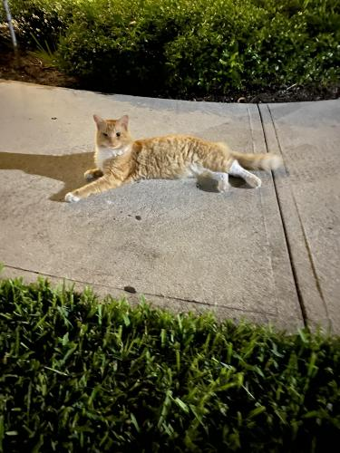 Found/Stray Unknown Cat last seen Lakeview drive, Coral Springs, FL 33071