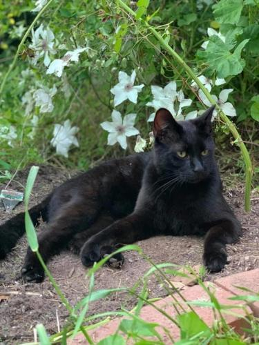 Lost Male Cat last seen Rumson Rd and Barksdale Dr, Raleigh, NC 27610