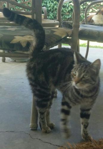 Found/Stray Male Cat last seen Orange Ave./Dale St., Anaheim, CA 92804