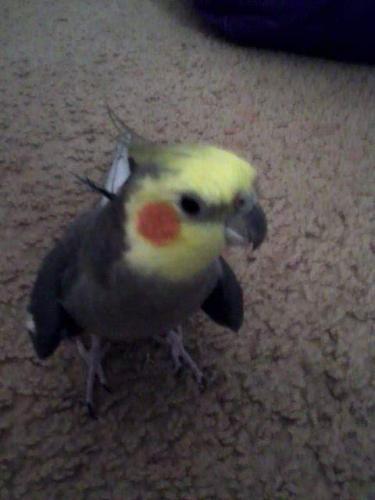 Lost Male Bird last seen Norwalk Blvd , Whittier, CA 90606