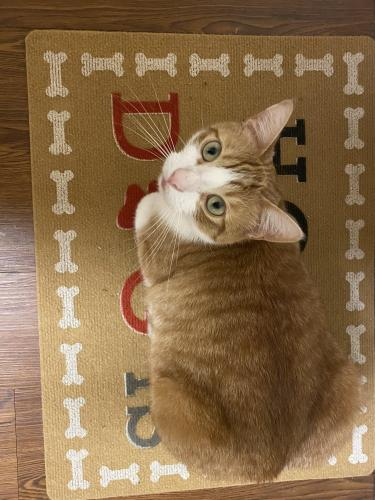 Lost Male Cat last seen Gunter Street in Lincoln Military Housing , Virginia Beach, VA 23455