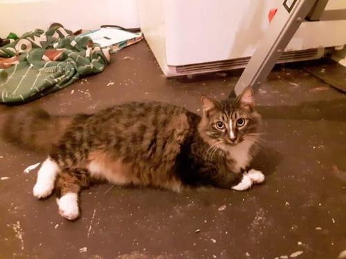 Lost Male Cat last seen Cherry St, Macon, GA 31201