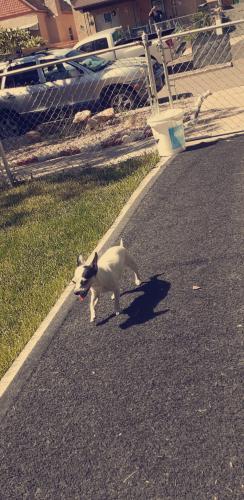 Lost Female Dog last seen 8th street and monument pueblo colorado, Pueblo, CO 81001