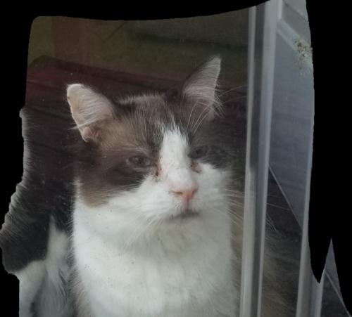 Lost Male Cat last seen Hawk Avenue and old clubhouse rd, Virginia Beach, VA 23453