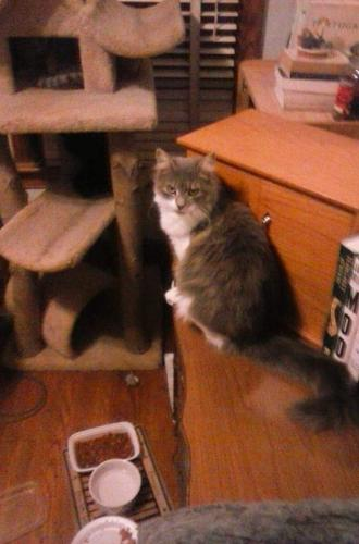 Lost Female Cat last seen Shoreline Drive and Hatton Point Rd. Portsmouth VA , Portsmouth, VA 23703