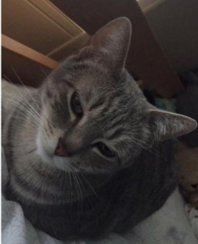 Lost Female Cat last seen Tracy Blvd, Tracy, CA 95376