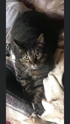 Lost Female Cat last seen Houses down from Burial Chambers Haunted house and Blair Ave, Neenah, WI 54956