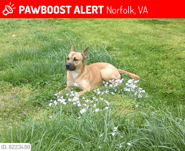 Lost Female Dog last seen Tidewater and Pope st, Norfolk, VA 23509