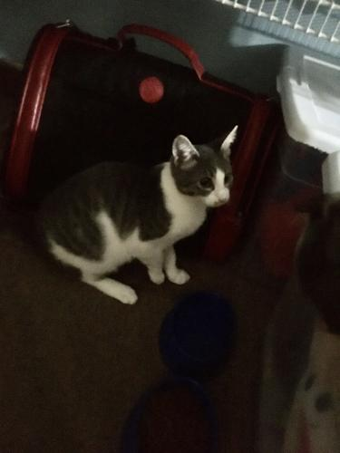 Lost Female Cat last seen Town hill and Washington st, Plymouth, CT 06786