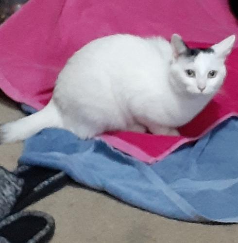 Lost Female Cat last seen Balsam st and Cormier, Ashwaubenon, WI 54313
