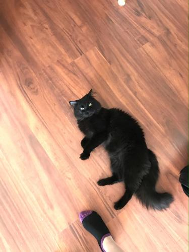 Lost Male Cat last seen Near crestwood drive Green Bay wi, Green Bay, WI 54313