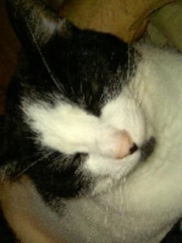 Lost Female Cat last seen Drome Ave, Stratford, CT 06615