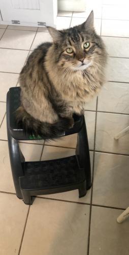 Lost Male Cat last seen Pierce ave / Madison st , Little Chute, WI 54140