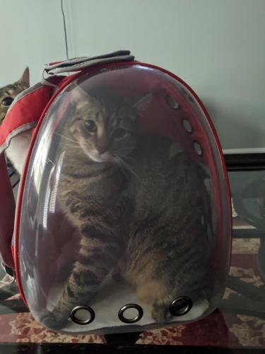Lost Male Cat last seen Winding Brook community, Chantilly, VA 20151