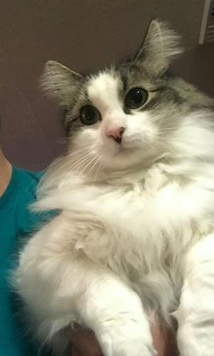 Lost Male Cat last seen sterling point and bidgood, Portsmouth, VA 23703