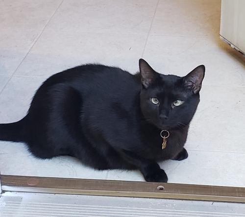 Lost Male Cat last seen Louis Stephens Breckenridge Sub., Morrisville, NC 27560