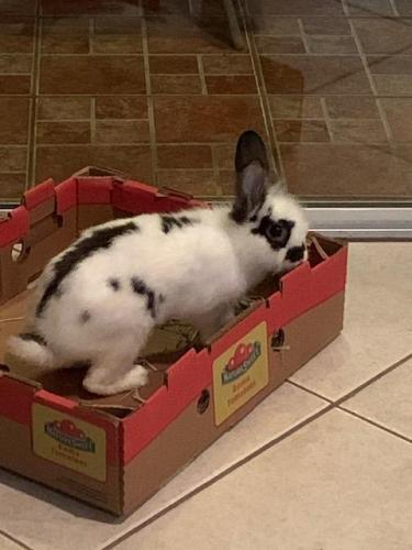 Found/Stray Male Rabbit last seen Near SW & 72nd Street, Miami, FL 33193