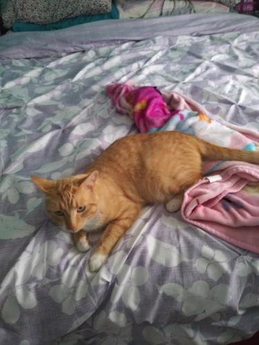 Lost Male Cat last seen Line Fence road Hayes Va, Hayes, VA 23072