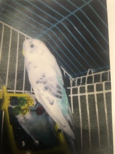 Lost Male Bird last seen Tamimi, Paterson, NJ 07503