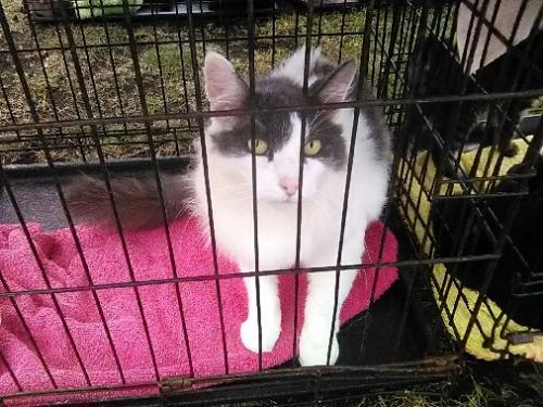 Lost Male Cat last seen Georgina & 4th , Santa Monica, CA 90402