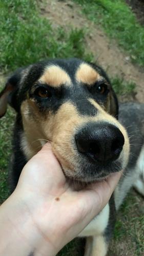 Lost Female Dog last seen Near Silent Ridge Ct., McLean, VA 22101