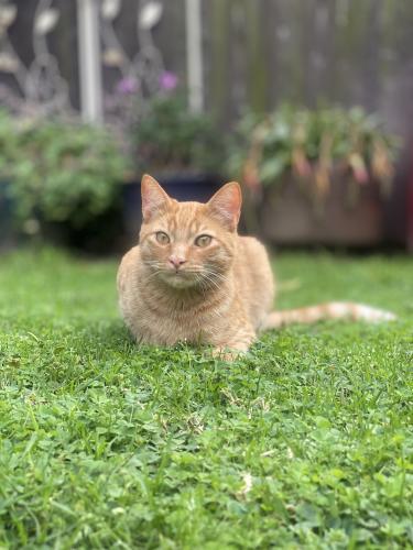Lost Male Cat last seen Baldwin Ave & Farragut Ave, Culver City, CA 90232