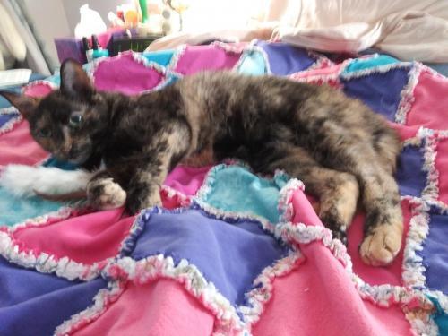 Lost Female Cat last seen Pinecrest Vista Drive and Little River Turnpike, Lincolnia, VA 22312