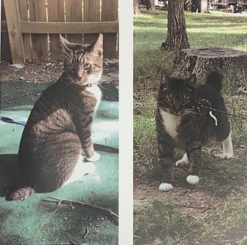 Lost Male Cat last seen Near wilkins dr, durham, NC 27705, lot 13D, Durham, NC 27705