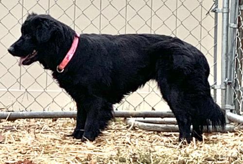 Lost Female Dog last seen St Mary's, Terry Rd, Lipscomb Church, Fox Run, Hardscrabble, Hillsborough, NC 27278