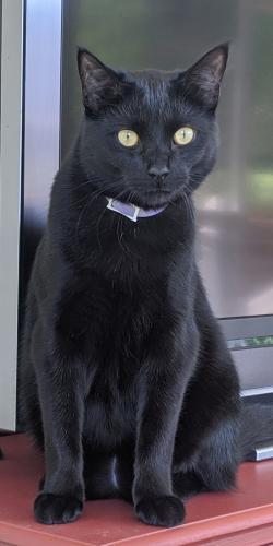 Lost Male Cat last seen Topside road off of pellissippi parkway, Louisville, TN 37777