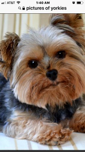 Lost Male Dog last seen Nw15th & penn, Oklahoma City, OK 73106