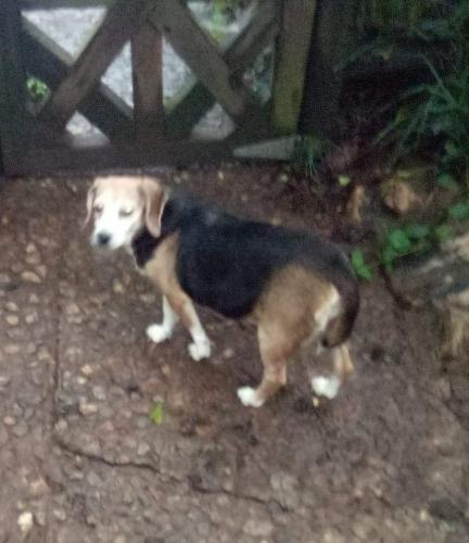Found/Stray Female Dog last seen Found on Piney Plains Rd near BJ's gas station, Cary, NC 27518