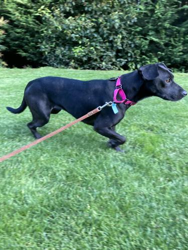 Lost Female Dog last seen 130th Ave NE & NE 39th St Bellevue 98005, Bellevue, WA 98005