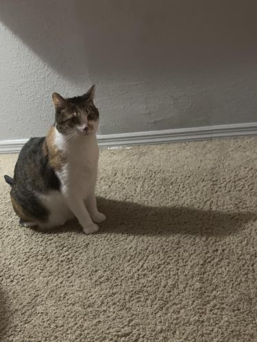 Lost Female Cat last seen Near Alston manor st, Cary NC, Cary, NC 27519