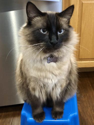 Lost Male Cat last seen 132nd Ave SE and SE 212th St, Kent, WA 98042