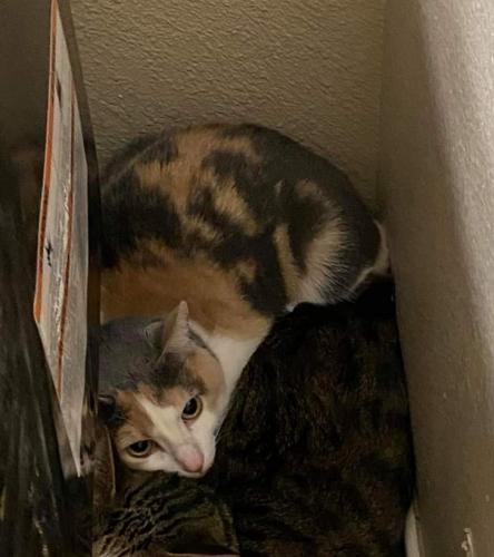 Lost Female Cat last seen Schertz Parkway, Schertz, TX 78154
