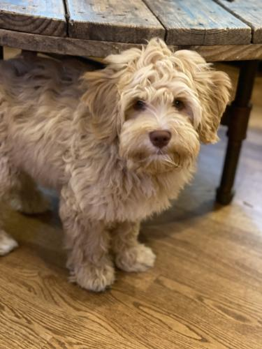 Lost Male Dog last seen Brooktrails by pipeline in woodinville, Woodinville, WA 98072