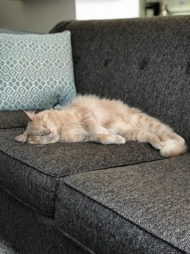 Lost Male Cat last seen Morrisville Carpenter Road, Morrisville, NC 27560