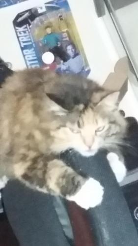 Lost Female Cat last seen Meadow Way dr  Close to Meadow Village Elementry School, San Antonio, TX 78227