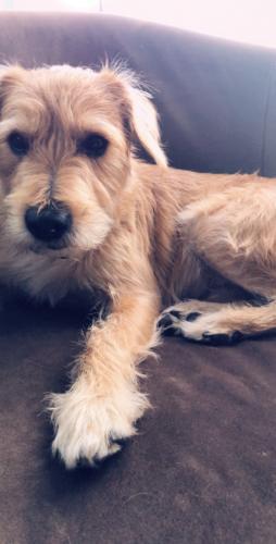 Lost Male Dog last seen Granger, Lovdeland, Bell Gardens, CA 90201