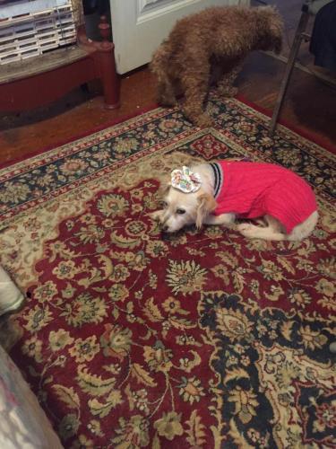 Lost Female Dog last seen 50th and walker Oklahoma City, OK, Oklahoma City, OK 73104