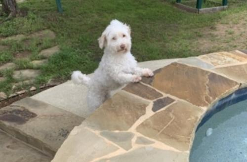 Lost Female Dog last seen Iron horse way, Helotes, TX 78023
