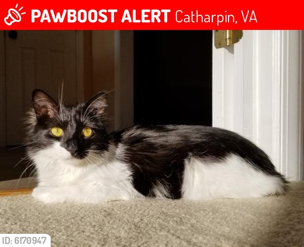 Lost Female Cat last seen Boxwood Farms and Dunigan Ct, Catharpin, VA 20143