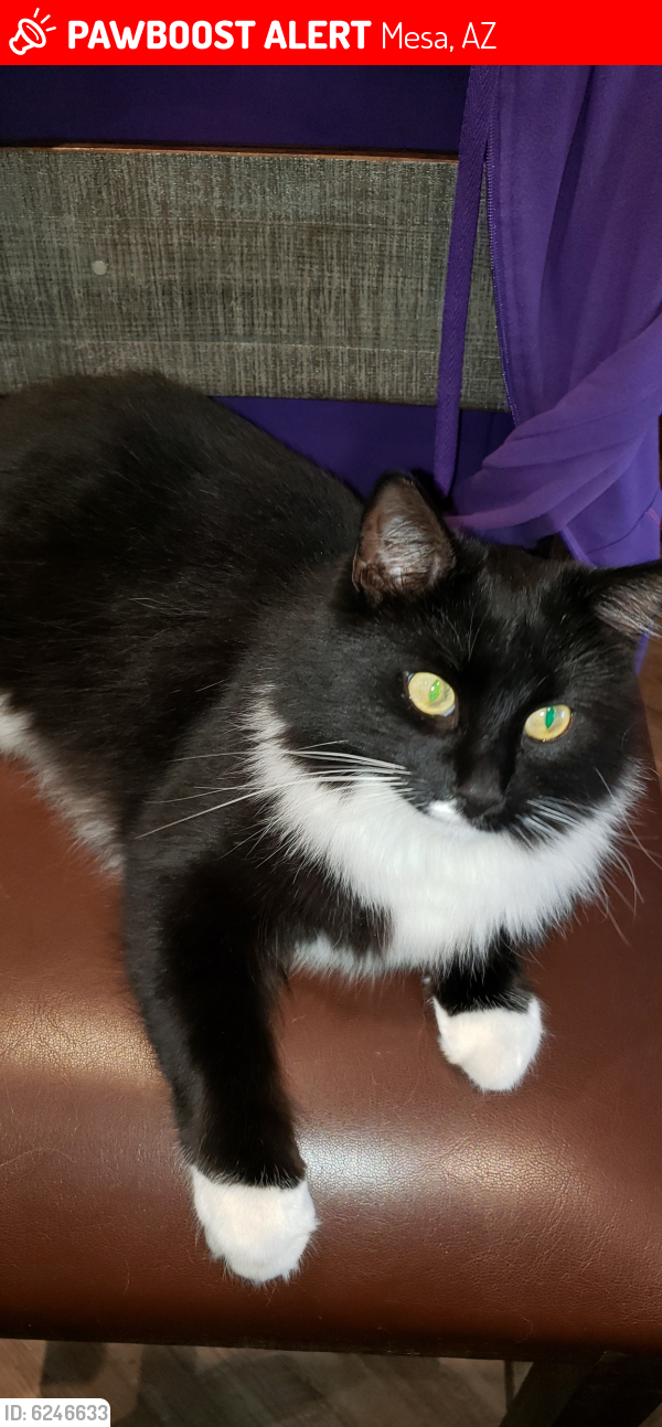 Lost Male Cat last seen E Coralbell Ave, near Taylor Jr High, Mesa, AZ 85204